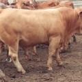 El negocio de la carne en ganado de engorde: una revisión crítica al modelo tradicional