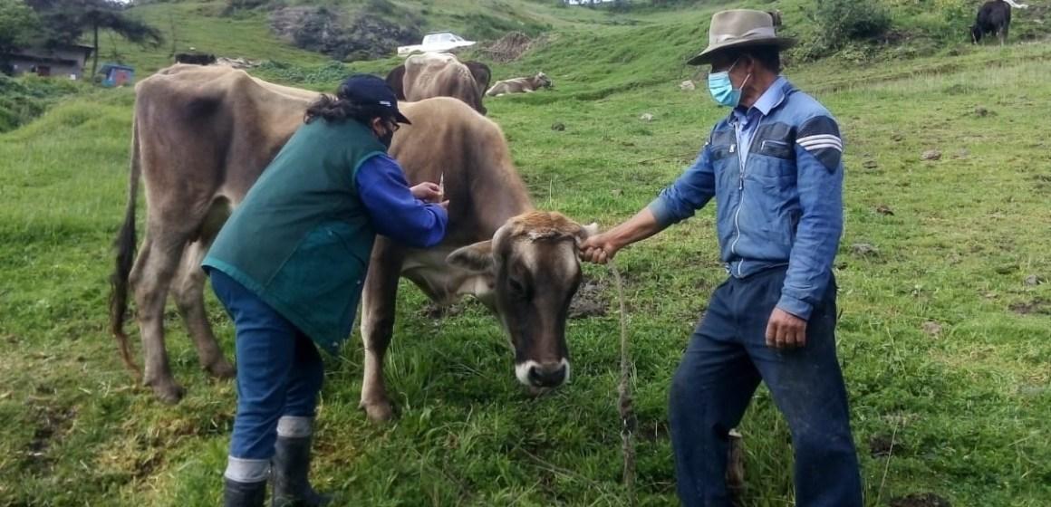 Senasa inicia vacunación de bovinos en Ucayali contra el Carbunco sintomático y Edema maligno