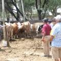 Establecen Escuelas de Campo para mejorar ganadería de leche en Lambayeque