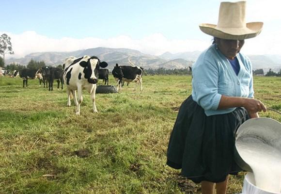 Gobierno reactivará ganadería lechera con bono de hasta S/80 millones