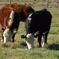 Hipomagnesemia bovina