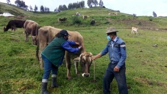 Inicia vacunación contra el Carbunco sintomático y Edema maligno en La Libertad