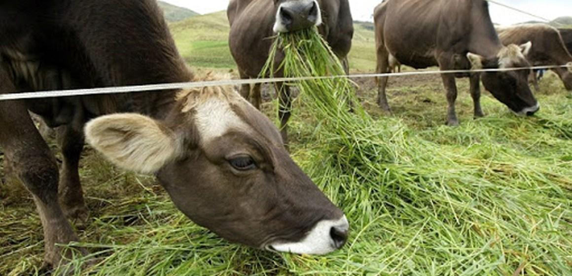 Calidad de forrajes: Una herramienta subestimada en la alimentación de las vacas lecheras