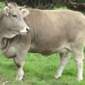 Características de la raza Brown Swiss y su aporte a la ganadería peruana