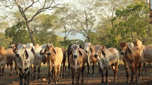 Adaptación de ganado vacuno introducido al trópico procedente de zonas libres de piroplasmosis y anaplasmosis
