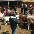 INIA desarrolló curso sobre manejo tecnificado para producción de vacunos de leche en Jauja