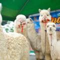 Día Nacional de la Alpaca: ganaderos participaron en primer festival regional en Huacho