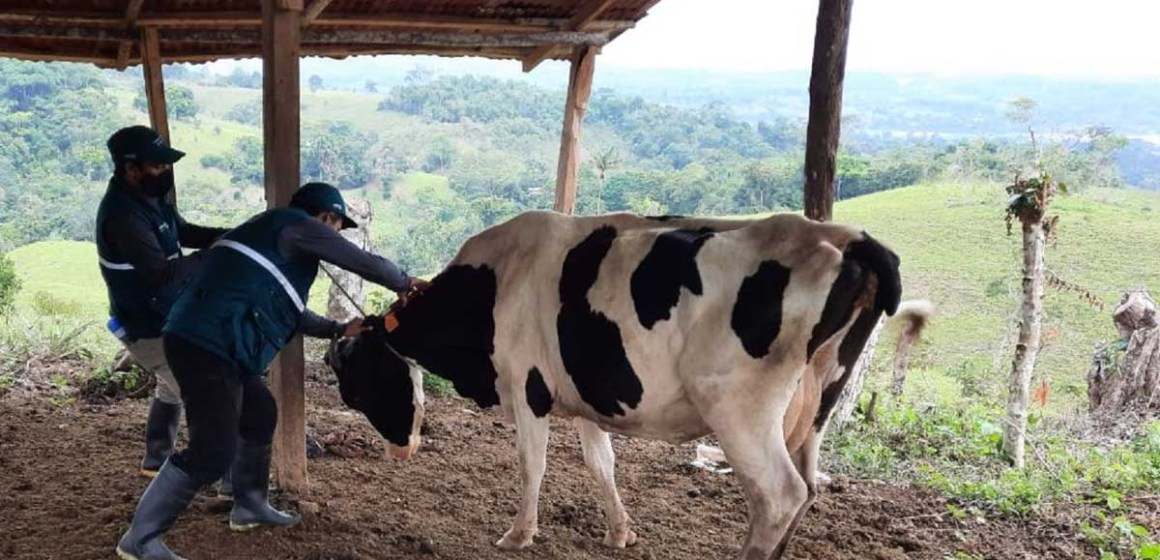San Martín: registran más de 50 mil cabezas de ganado aretadas en 2021