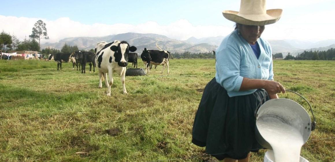 Cusco: ganaderos incrementan producción lechera gracias a Escuelas de Campo