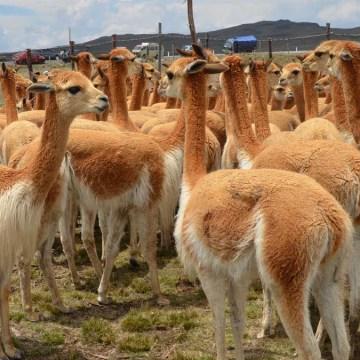 Regiones: reactivan sistema de resguardo sanitario de camélidos sudamericanos